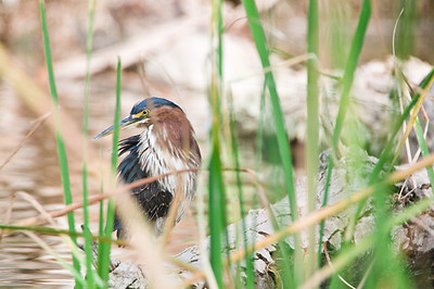 Hiding Green Heron